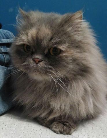 Lia es una gata Persa preciosa de 1 año aproximadamente. Se nota que la han abandonado hace poco. Urge encontrarle un hogar ya que tiene que salir de la casa de acogida donde está lo antes posible. Por Favor difundir a tope http://progatbarbera.org/persa/32