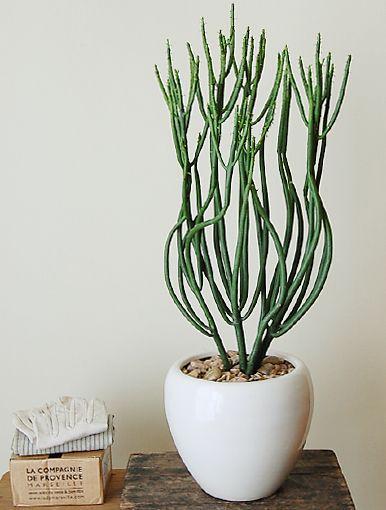 Euphorbia Leucodendron