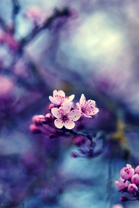 .: Cherries Blossoms, Pink Flowers, Blue Flowers, Natural Beautiful, Soft Pink, Purple Flowers, Flowers Power, Pink Blossoms, Blossoms Trees