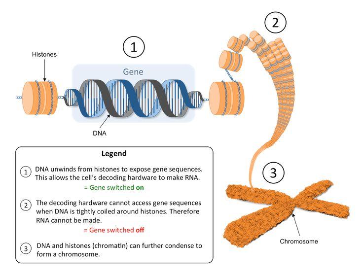 193 best Epigenetics images on Pinterest Health and wellness - new blueprint gene expression