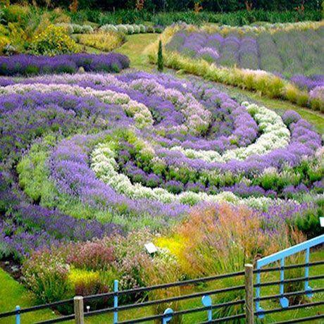 Lavendel med grönt