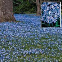 BRECKS: Wholesale Bulbs - Chionodoxa forbesii at New Holland Bulb