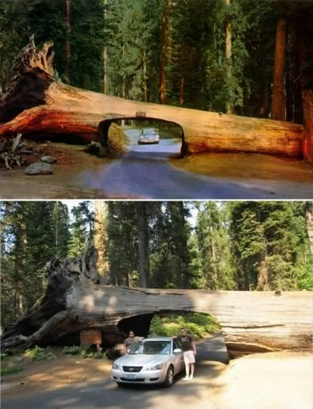 This unusual tunnel can be seen in California's Sequoia National Park. The drive is cut through the tree trunk of a Sequoia which fell in 1937. Instead of removing it from the road, the park administration decided to cut a tunnel in it. It's 5.18 m. (17 ft.) wide and 2.44 m. (8 ft.) high.