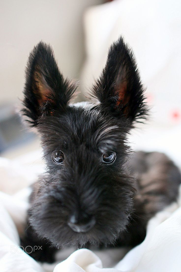 Scottish Terrier puppy at 3 months old