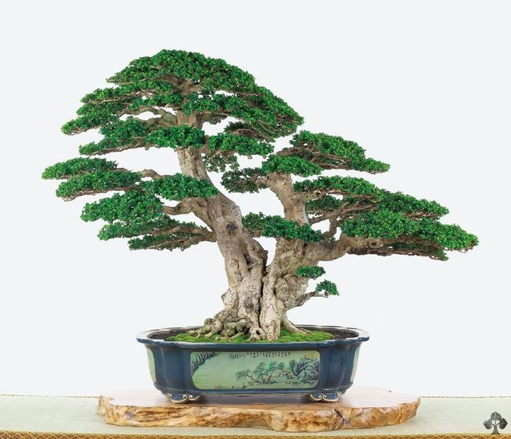 19 best images about bonsai and penjing on pinterest
