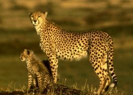 Diet  Cheetahs only eat antelopes have to eat every 6 hours  Life Time  The life of a cheetah is approximately 10-12 years in state hunting and 20 years at rest  Habit  the native habitat of the cheetah is africa but they can be moved to Asia and some pegeñas reguiones Iran