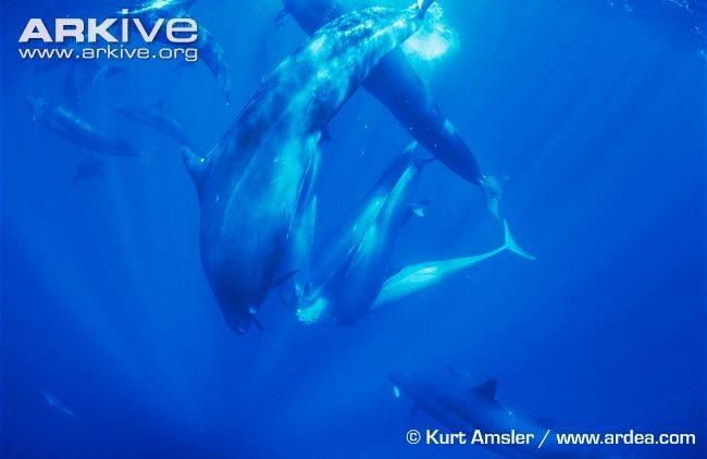 False killer whales sharing tuna prey - View amazing False killer whale photos - Pseudorca crassidens - on ARKive