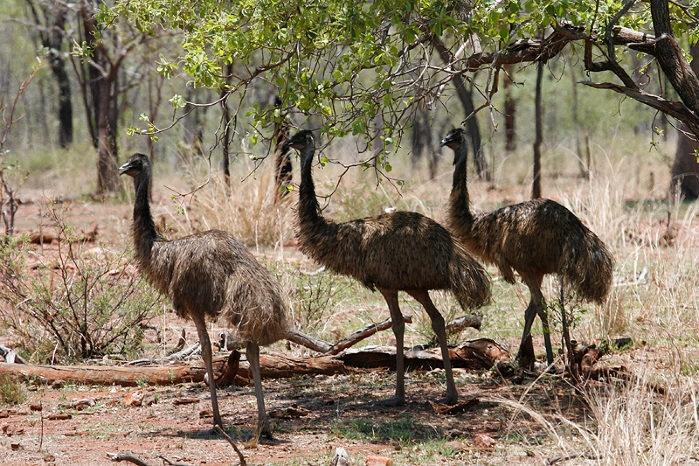 Emus in the Chillagoe Caves Park.  Queensland, Australia.