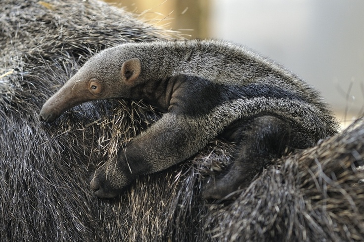 Pin by Kelly Jacobs on Anteater, Anteaters, giant, silky ...