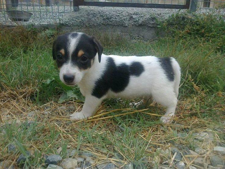 Cuccioli di Jack Russell zampa corta Allevamento italiano dispone di cuccioli di jack russell terrier a pelo liscio e zampa corta, molto furbetti, vispi e giocherelloni. Sono 2 maschietti ed 1 femminuccia