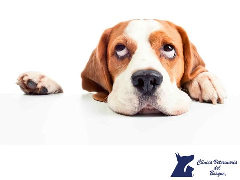 ¿Qué puedo hacer para que mi perro no coma heces? LA MEJOR CLÍNICA VETERINARIA DE MÉXICO. La coprofagia es un problema común y peligroso para tu mascota, las causas pueden ser muchas desde enfermedades sistémicas a problemas de la conducta, dependiendo de esto eligiremos el mejor tratamiento. #veterinariadelbosque