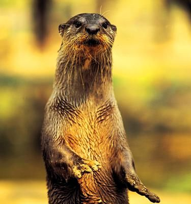 Symbolic Otter Meanings: Otter Totem and Symbolic Otter Meaning  Hello. I just finished a very long post that I was going to submit, but then my internet browser crashed and I