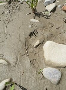 Summer Series: Who Dung It? Animal Tracks & Signs June 29th 10-11:30 am Fish Creek Environmental Learning Centre, Shannon Terrace (access off 37 St SW and 130 Ave SW) #calgary #yyc #yycre #CalgaryRealEstate