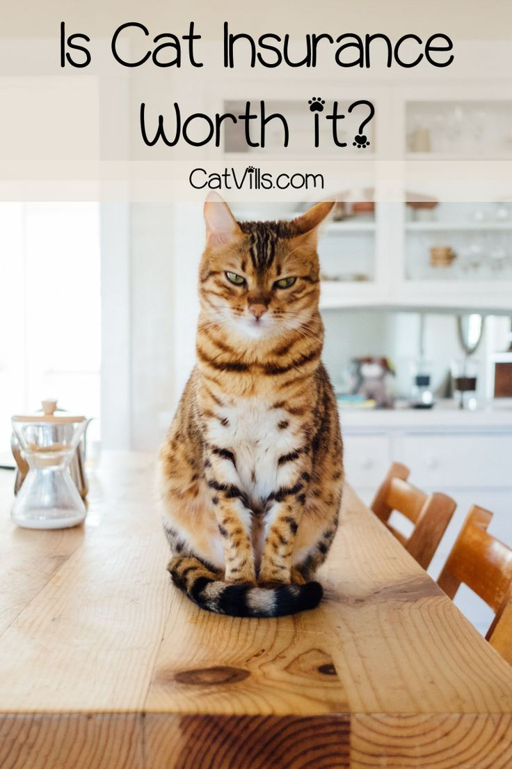 Is Cat Insurance Worth It Food Animals Cat Insurance Pet Health