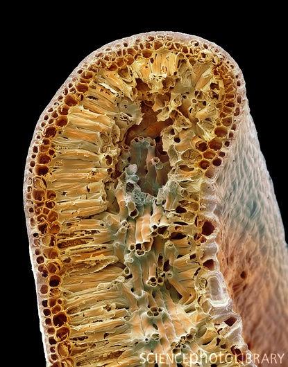 Leaf structure, SEM image.