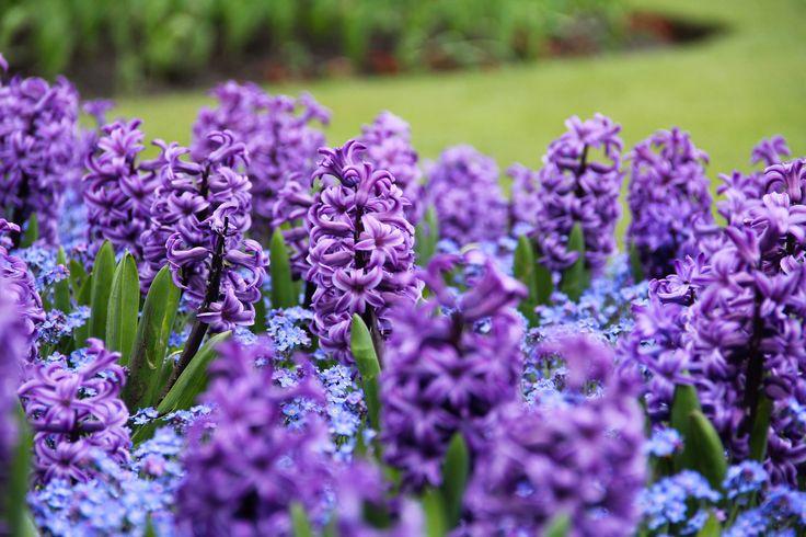 Lilacs ...