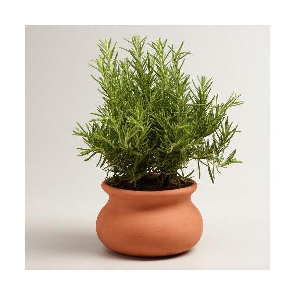 Cost Plus World Market Live Rosemary Tree in Terracotta Pot ($35) ❤ liked on Polyvore featuring home, home decor, inspirational home decor, terra cotta pots, terracotta pots, cost plus world market and mediterranean home decor