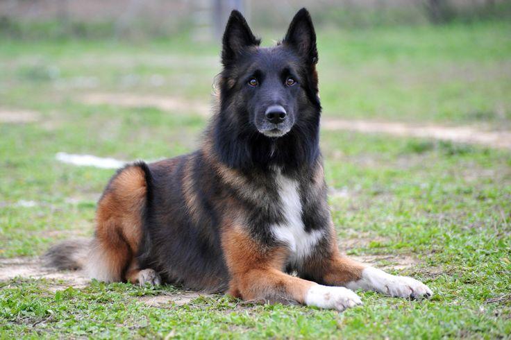 Бельгийские овчарки  сильные и грациозные собаками среднего размера. Они очень энергичные и быстрые. Именно поэтому с каждым годом эти собаки становятся все более популярными.