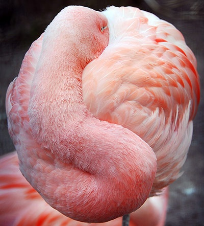 A pink flamingo protects itself from cold weather