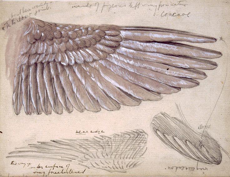 Edward Burne Jones, Drawing of Wings - no tutorial - from http://sweetpeapath.tumblr.com/post/24202471167/edward-burne-jones-drawing-of-wings-n-d-via