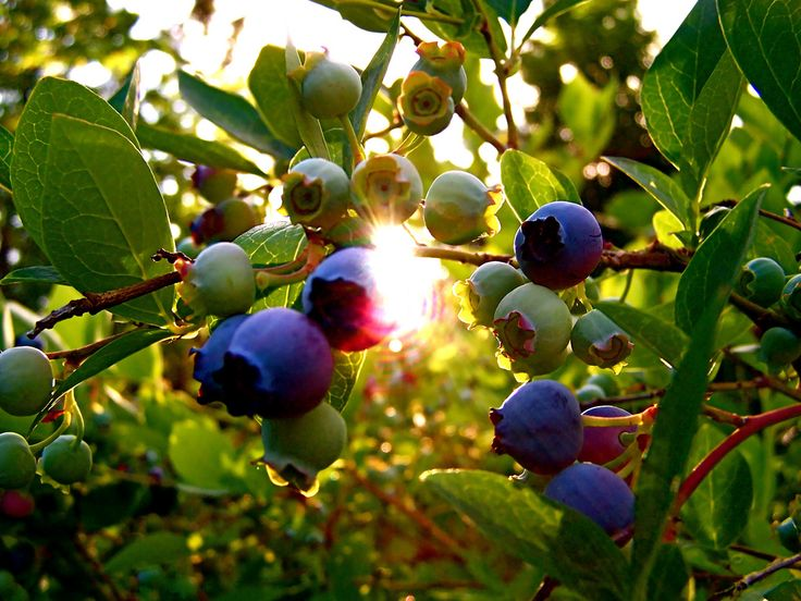 By Heather Rhoades Blueberries Have Been In Health News A Lot Lately.  Packed With Anti