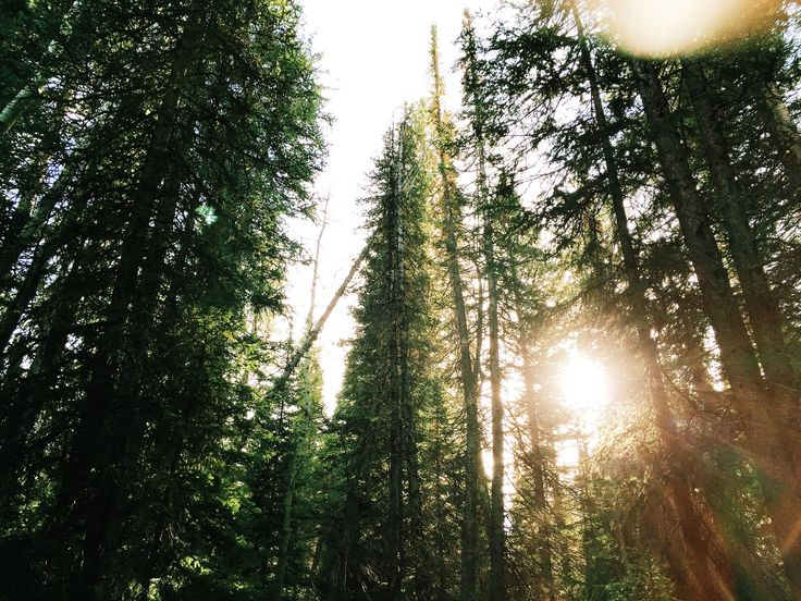 [#HD Wallpaper] Tall evergreen trees with sun shining through their branches - iPhone 6 Plus, Boise National Forest, #IPhoneX #Forest #Tree #IOS7 United States Forest Service, Wallpaper  - Photo by Joseph Young @duffuff (unsplash)  - Follow #extremegentleman for more pics like this!