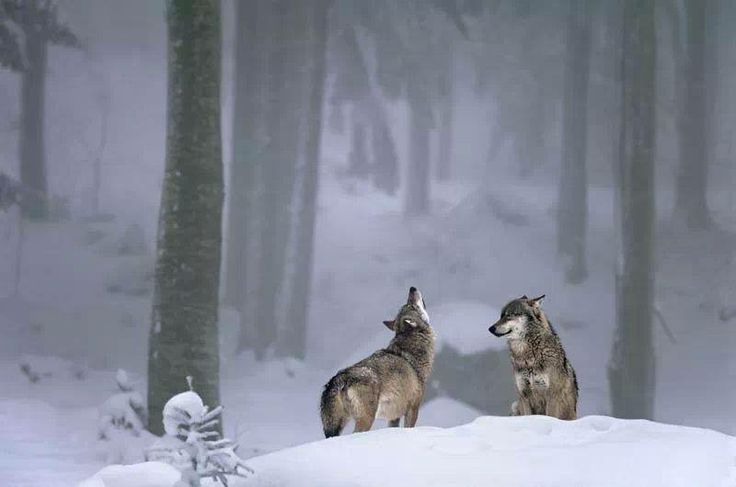 Canadian Wolves