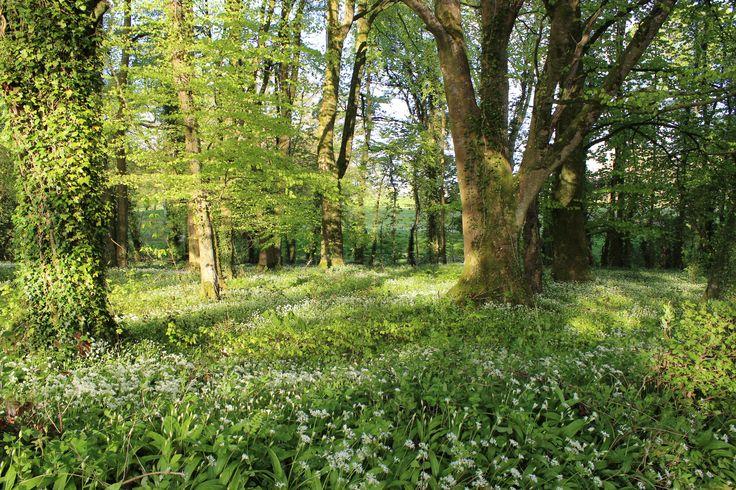 Wild garlic Killykeen Forest