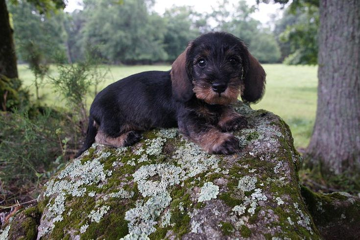 Willow Springs Miniature Wirehaired Dachshunds - Abner of Willow Springs http://www.willowspringsdachshunds.com/