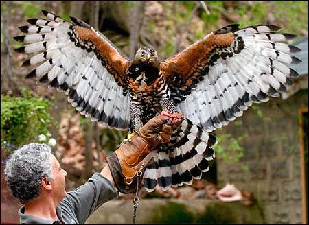 """African Crowned Eagle receives a silicone """"Body Double"""" shoe 