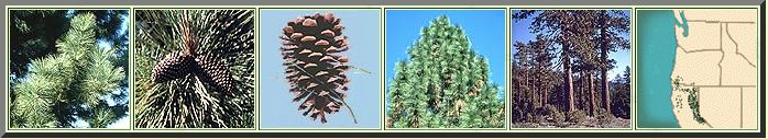 """NORTHWEST PINE IDENTIFICATION // JEFFREY PINE: -Needles: Occur in bundles of 3 (rarely 2); 5-10"""" long; often """"bushy"""" along twig (often held 5-8 years on the tree). -Fruit: Large, woody cones; 5-12"""" long (much larger than ponderosa pine cones); each scale has a curved (J-shaped) prickle that curves inward. -Bark: Flakes off in jigsaw puzzle-like pieces. Older bark is distinctly reddish-brown (not as orange as ponderosa pine). // http://oregonstate.edu/trees/conifer_genera/spp/pine_spp.html"""