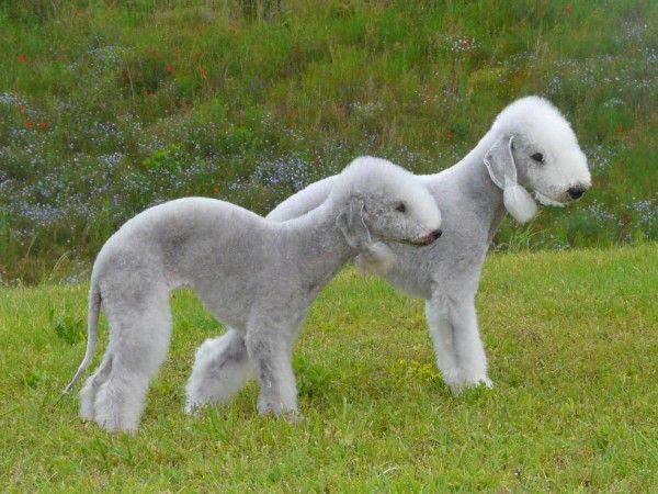 Imagen de http://static2.animalesmascotas.com/wp-content/uploads/2014/09/razas-de-perros-ingleses-bedlington-600x450.jpeg.