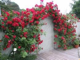 Rosa Kordesii-Gruppen FLAMMENTANZ('Korflata') Rosaceae Härdig, skuggtålig och lättodlad klätterros som blommar oerhört rikligt med stora, sammetsröda blommor.