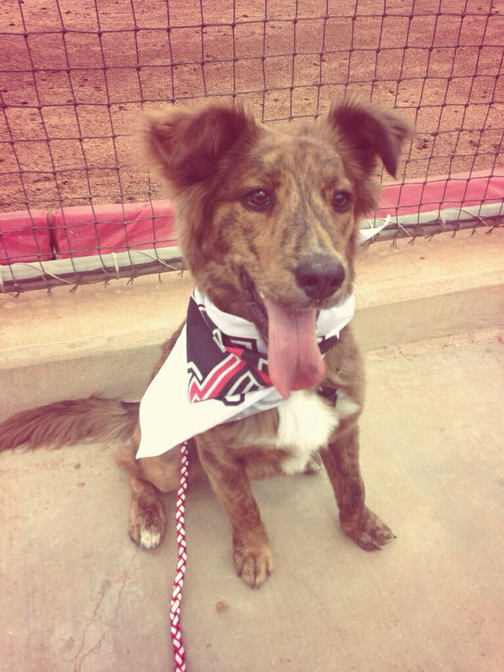 Koda in Texas Tech softball  game