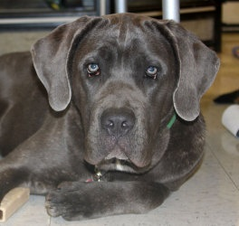 Elsa Marie is an adoptable Cane Corso Mastiff Dog in Bowie, MD. Age: 6 months Weight: expected adult weight 90-100 lbs Good with kids: over 9 years Good with dogs: yes, large dogs Good with cats: unkn...