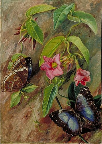Twining Plant and Butterfly of Brazil,    Marianne North