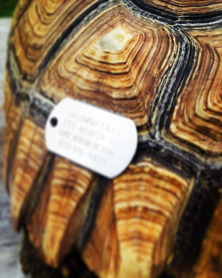 I'd tag on a sulcata tortoise