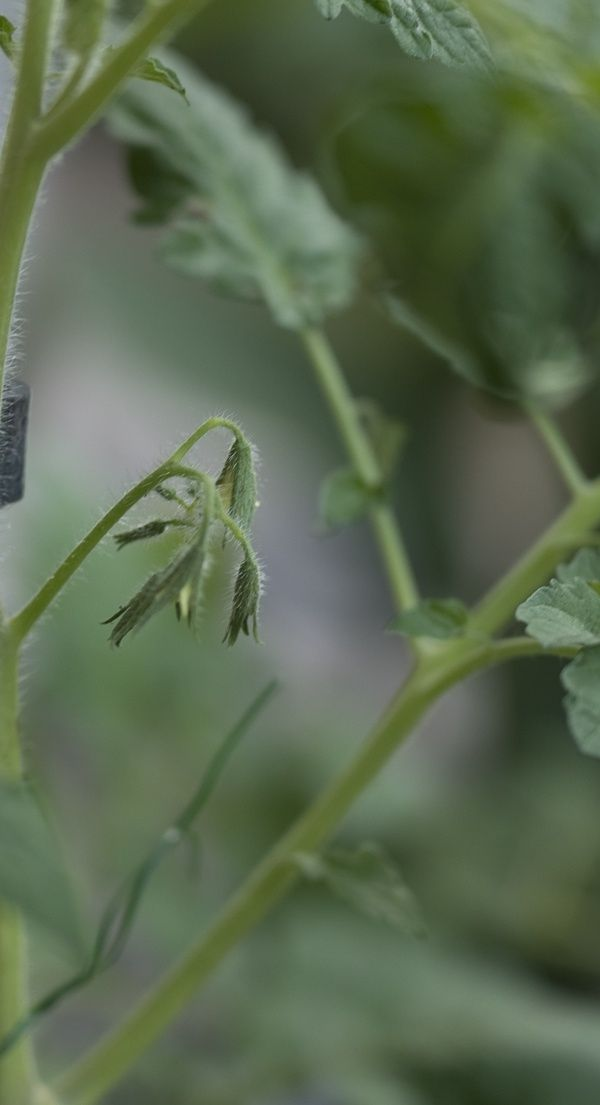 Warum Die Bluten Von Tomaten Abfallen Mit Bildern Pflanzen Tomaten Pflanzen Pflanzenblatter