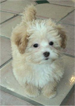 This is the breed to get for lovability and cuteness--shih-poo.