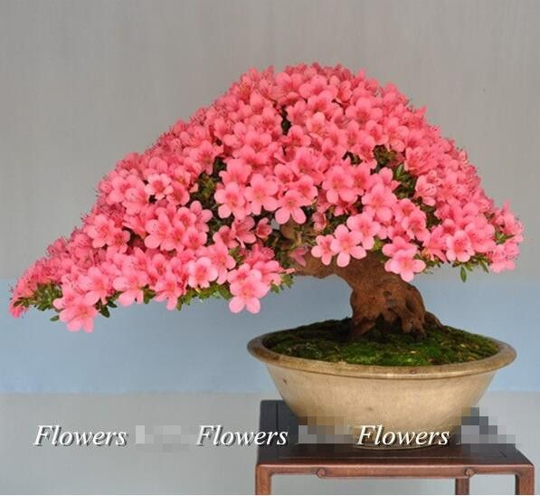 Crape Myrtle Tree seeds 50pcs / pack Free shipping Bonsai Potted Plant Red flowers For Indorr office Easy to plant Best gift #>=#>=#>=#>=#> Click on the pin to check out discount price, color, size, shipping, etc. Save and like it!