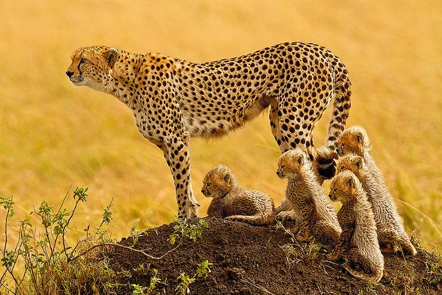 """""""The Matriarch"""" - Cheetah with 5 cubs in the Masai Mara by Stephen Oachs (ApertureAcademy.com) on Flickr."""