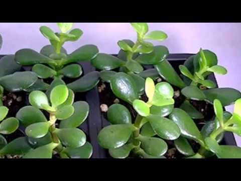 1000 ideas about crassula ovata on pinterest jade - Plantas para atraer el dinero ...