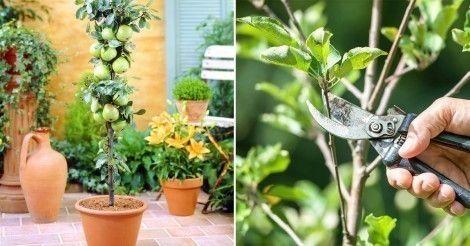 Aprende una técnica para que tu árbol frutal crezca en forma de columna y puedas tenerlo perfectamente en un balcón o patio pequeño.