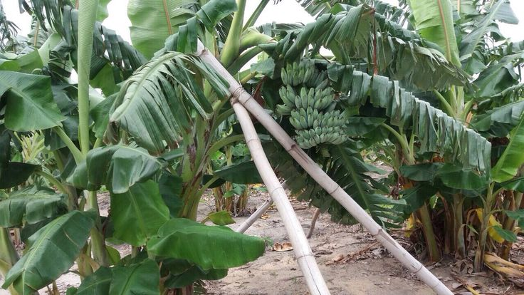 Cooking Banana - Ash Plantain