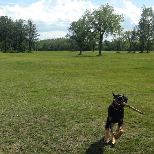 I'm never letting go of this stick! - Charleswood Dog Park Club - Winnipeg, MB - Angus Off-Leash #dogs #puppies #cutedogs #winnipeg #manitoba #dogparks #angusoffleash