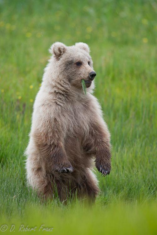 funkysafari:      Alaskan brown bear by DRobertFranz