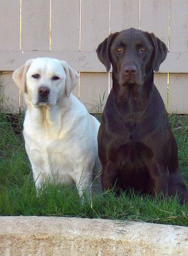 Great Lab Names for Any Color Labrador #Lab #Names #LabradorRetriever