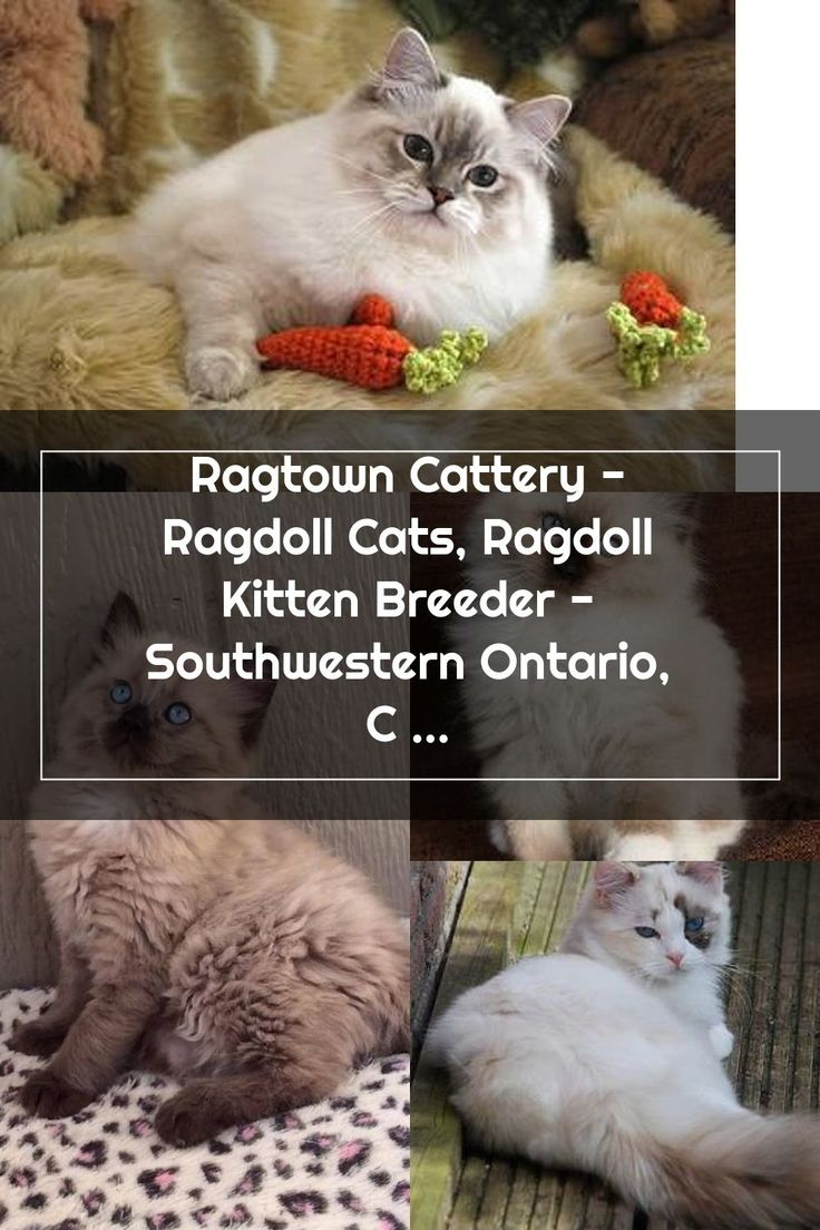 Ragtown Cattery Ragdoll Cats, Ragdoll Kitten Breeder
