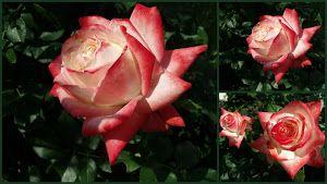 Lovely roses from garden Wilcza Gora