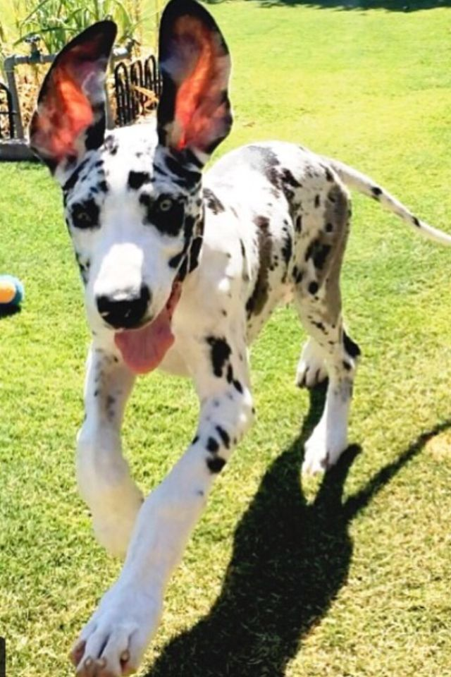 Beautiful little Great Dane puppy. Love the floppy ears and long tail, the way god made them!